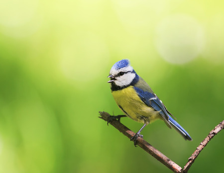 portrait of a beautiful bright little blue tit sitting on a branch in spring garden and sings Stock Photo