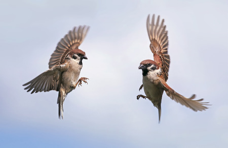 Two sparrows flying towards each other widely spreading their wings and feathers against the blue sky in spring in the garden