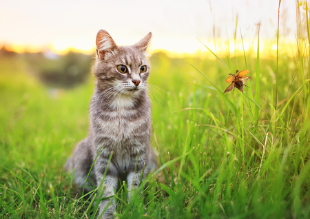a cute tabby cat sits on a summer green sunny meadow and looks at the passing May beetle Stock Photo