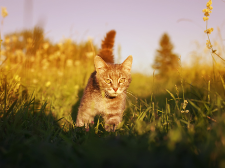 cute striped cat walks on a summer meadow and sneaks on green grass and hunts