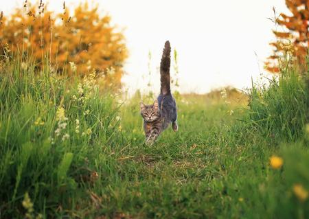 cute beautiful striped kitten fun and rushing through the green summer meadow playing