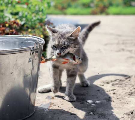 deft striped kitten caught fish in a bucket on the street in summer Stock Photo