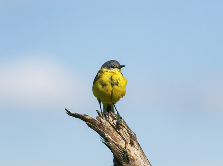 portrait of a bright yellow bird male Wagtail singing a song sitting on a branch in a summer meadow against a blue sky 免版税图像