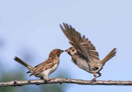 two little funny birds sparrows in the spring in the Park on a branch kissing and waving their wings