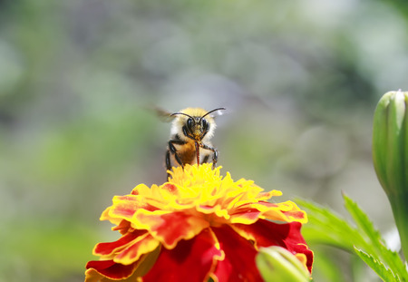 little bee collects nectar for honey with a bright orange flower marigolds summer clear day