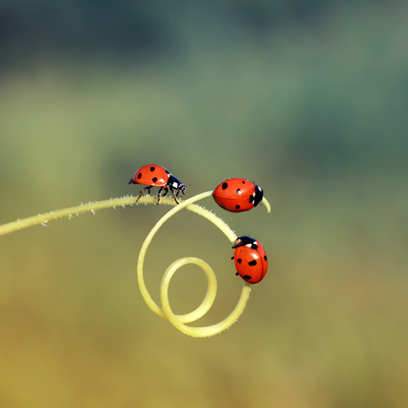three little ladybugs crawling through a maze of blades of grass in a summer meadow
