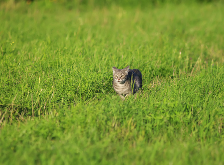 cute beautiful cat runs fast through a green bright meadow with fresh grass on a Sunny spring day