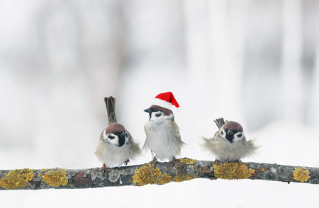 funny birds sparrows in Christmas winter garden sitting on a branch in a red cap