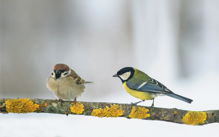two funny birds Sparrow and tit sit on a branch in the winter holiday Park Stock Photo
