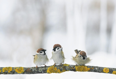 three funny Sparrow birds are sitting on a branch in the winter holiday Park