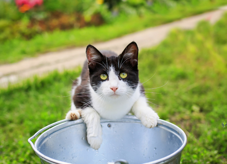 funny beautiful kitten in the summer garden deftly catches a metal bucket of water with his foot fish 스톡 콘텐츠