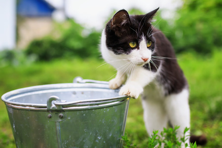 funny kitten walks in the summer garden and curiously looks into the metal bucket