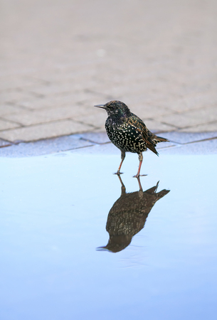 portrait black urban bird Starling is worth in Park spring in blue a puddle of and is reflected in it as in the mirror