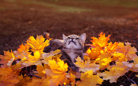 Beautiful striped kitten sitting in the garden and playing in the bright foliage of red and yellow maple on a Sunny autumn day