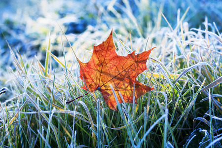 Natural background beautiful bright Golden maple leaf lies on the grass covered with white frost in the morning autumn garden