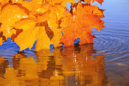 Natural beautiful background with bright yellow and orange maple leaves bent over a blue pond on a clear autumn day and reflected in it as a mirror 版權商用圖片