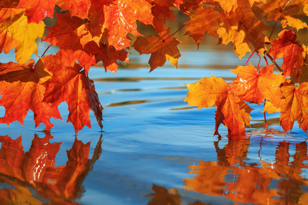 Beautiful lush maple branches with bright Golden and orange leaves bent over the blue water reflecting in it like a mirror