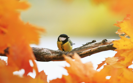 Portrait of little beautiful bird tit sitting in autumn Park on maple tree with bright red and yellow leaves on Sunny day and eating caught wasp Banque d'images