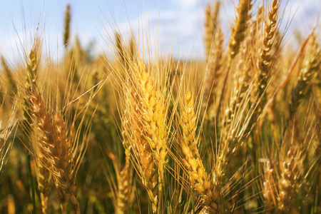 natural background with ripe Golden ears and wheat grains matured on a yielding agricultural field on a Sunny day and stretch to the blue sky