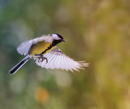 beautiful bird tit flies widely waving its feathers and wings in a Sunny Park 免版税图像