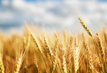 natural background with ripe ears and grains of wheat matured on a yielding agricultural field on a Sunny day against a blue sky