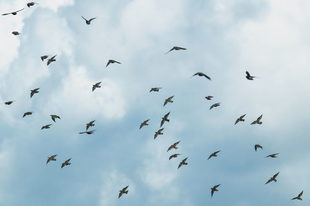 natural  with a large flock of black birds migrating starlings flies on blue sky background Foto de archivo