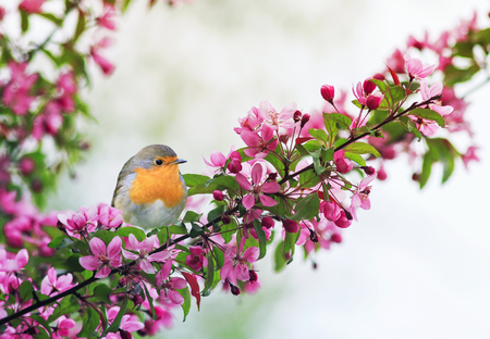 beautiful little bird Robin sitting on a branch of a flowering pink Apple tree in the spring garden of may