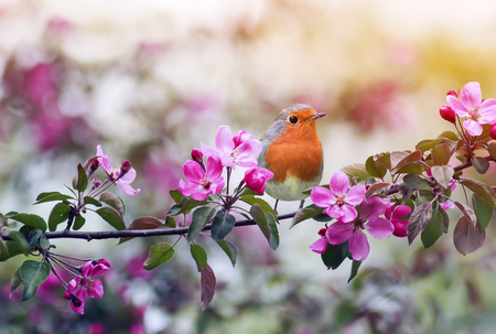 little bird Robin sitting on a branch of a flowering pink Apple tree in the spring garden of may