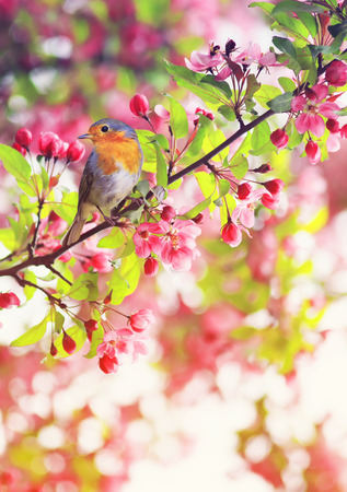 bird Robin sitting on a branch of a flowering pink Apple tree in the spring garden of may