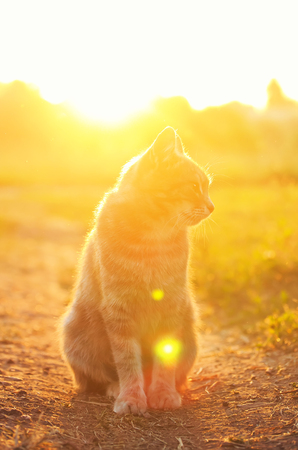 cute striped cat walks in the summer garden and sits on the path illuminated by a bright yellow sunset