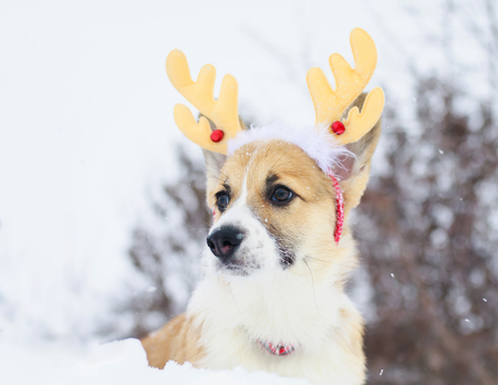 funny little red puppy of a corgi dog sits in a winter park in the snow dressed in soft Christmas reindeer 写真素材