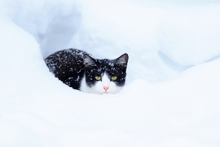 cute funny kitten lurking in a white snowdrift during a snowfall