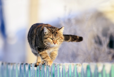 cute funny striped domestic cat is striding along a wooden fence in a village in a clear winter garden. Stock Photo