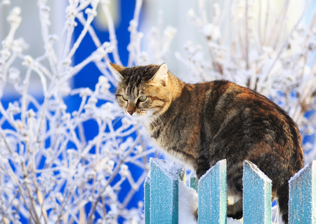cute funny striped domestic cat sits on a wooden fence in a village in a clear winter garden amid hoarfrost Imagens