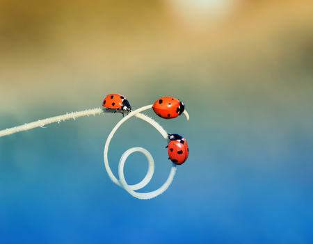 three red ladybugs crawling one after another on the green grass curved into a spiral in the summer Sunny meadow