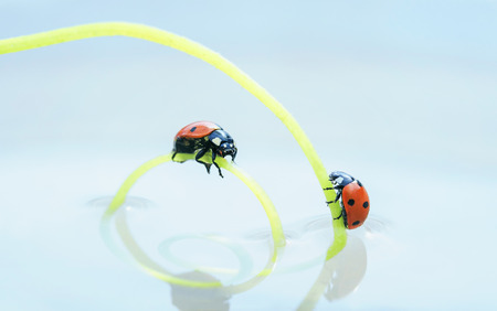 two red ladybugs crawling towards each other on a green herbal spiral in mirror water 版權商用圖片