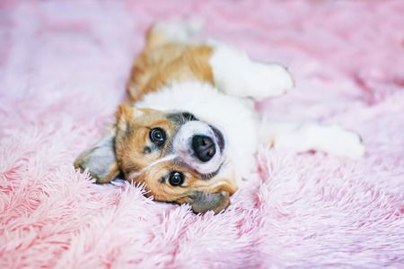 cute little Corgi pup in a festive red bow tie and gastuche lying on a fluffy pink blanket funny pulling legs