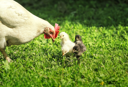 hen and little chickens, yellow, black and red walk on the lush green grass in the farm yard on a Sunny spring day