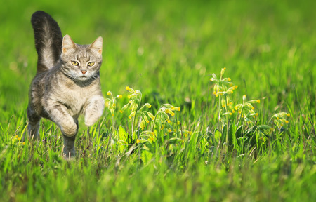a young striped cat runs gracefully across a green bright meadow with flowers on a Sunny clear spring day