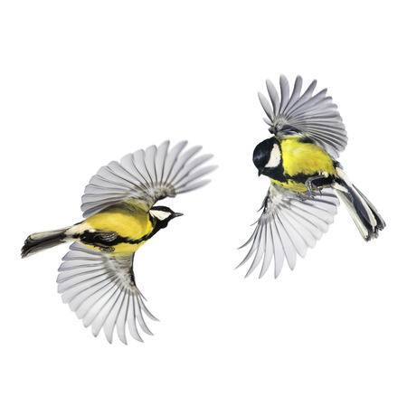 two small songbirds tit fly widely spreading feathers and wings on a white isolated background in various poses and views Stock Photo