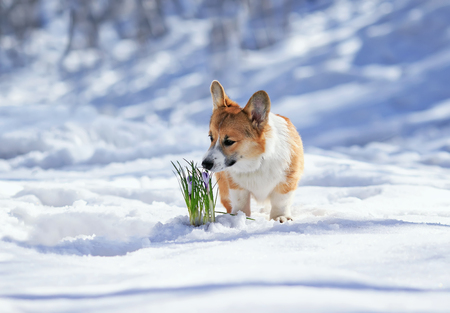 beautiful portrait of cute puppy red Corgi sniffing lilac flowers crocuses making their way from under the snow in the spring Sunny Park