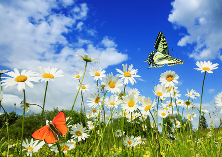 beautiful different butterflies flutter in a bright meadow over white flowers daisies on a Sunny summer day