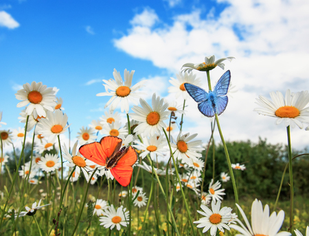 different beautiful butterflies flying over a meadow on a bright white flowers daisies on a Sunny summer day and drink the nectar