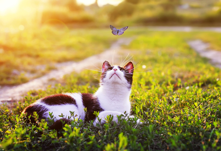 portrait of a cute striped cat lying in the grass in a Sunny meadow and looking at a beautiful little blue butterfly flying overhead on a clear summer day in the village