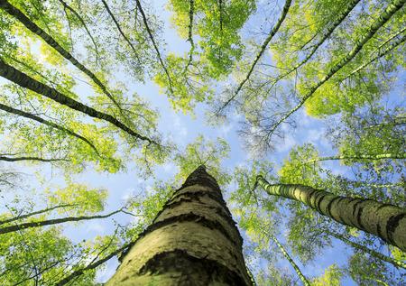 sfondo naturale vista dal basso delle cime delle betulle si estendono verso il cielo blu con foglie fresche e succulente verdi in primavera