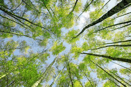background bottom view of the crowns and the tops of birch trees stretch to the blue clear sky with bright green young leaves in the spring park Reklamní fotografie