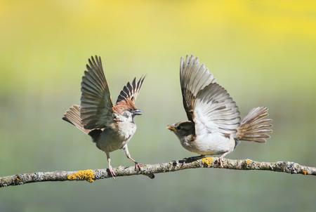 zwei kleine lustige Vogelspatzen auf einem Ast in einem sonnigen Frühlingsgarten, die während eines Streits mit Flügeln und Schnäbeln schlagen