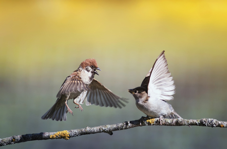 two funny birds sparrows on a branch in a sunny spring garden flapping their wings and beaks