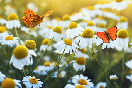 different beautiful butterflies fluttering and sitting on a bright meadow on a gentle Bellamy flowers daisies on a Sunny summer day