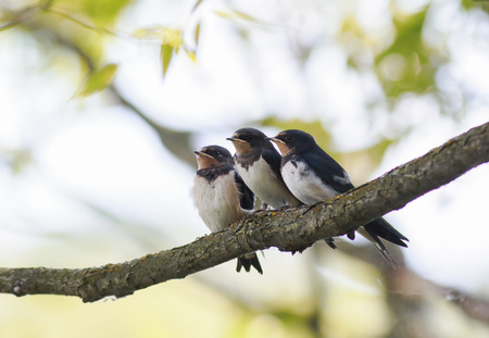 three little plump funny chicks barn swallows sitting together on a branch waiting for the parents of the birds